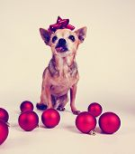 a tiny chihuahua dressed in a christmas outfit toned with a retro vintage instagram filter effect
