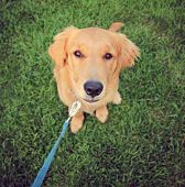 a cute golden retriever sitting in green grass outside on a leash toned with a retro vintage instagram filter