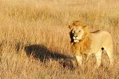 A lion (Panthera leo) on the Maasai Mara National Reserve safari in southwestern Kenya.