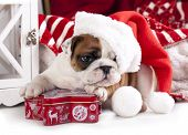stock photo of christmas dog  - christmas dog  - JPG