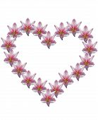 stock photo of belladonna  - amaryllis flower in heart shape white background - JPG