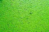 picture of scum  - green aquatic plant with algal scum texture background - JPG