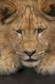Lion Cub Exercises.