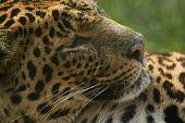 Lazy Amur Leopard.