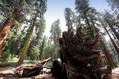 Sequoias at Mariposa Grove, Yosemite national park, california, usa