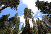 Sequoias forest at Mariposa Grove, Yosemite national park