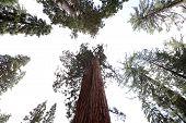 Sequoias at Mariposa Grove, Yosemite national park