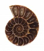 Section Of Ammonite