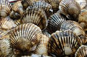 stock photo of scallop-shell  - Seafood - JPG