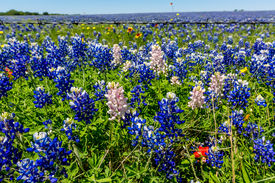 picture of bluebonnets  - A Closeup View of a Beautiful Field Blanketed with the Famous Texas Bluebonnet  - JPG