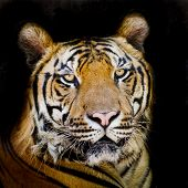 pic of sundarbans  - Closeup Tiger portrait animal wildlife on black background - JPG