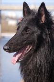 foto of sheep-dog  - dog a black Belgian sheep - JPG