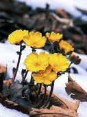 foto of primrose  - primrose yellow on the background of last year - JPG