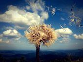 stock photo of dandelion  - Inflate dandelion gust of wind - JPG