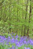 foto of harebell  - Beautiful landscape with Bluebell flowers in spring forest - JPG