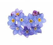 stock photo of forget me not  - beautiful blue flowers forget - JPG