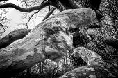 pic of creepy  - Black and white image of a creepy mans face hoping out of a tree branch - JPG