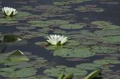 foto of white lily  - White water lily  floating in a small pond - JPG