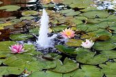 stock photo of water lily  - Pink and white water lilies on a pound next to a fountain - JPG