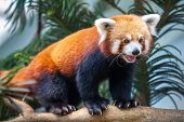 foto of panda  - Portrait of a Red Panda - JPG