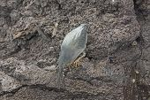 pic of striking  - Lava Heron Poised to Strike on Bartolome Island in the Galapagos - JPG