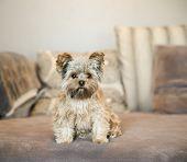 foto of yorkshire terrier  - a cute yorkshire terrier peeking sitting on a sofa  - JPG