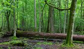foto of ash-tree  - Fresh deciduous stand of Bialowieza Forest in springtime with dead broken ash tree in foreground - JPG