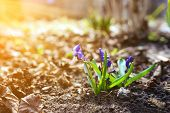 Постер, плакат: Bee On Flower Blue Snowdrops With Sun Rays