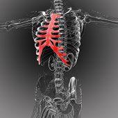 stock photo of sternum  - 3d render medical illustration of the sternum and cartilage  - JPG