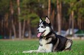 picture of siberian husky  - Siberian Husky lies on the grass in the field - JPG