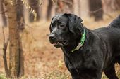 foto of labradors  - portrait of a black Labrador in a forest
