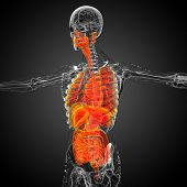 picture of respiratory  - 3d render medical illustration of the human digestive system and respiratory system  - JPG