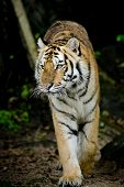 picture of sundarbans  - Closeup Tiger animal wildlife on nature background - JPG