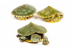 image of terrapin turtle  - Funny green turtle on parade or walking around isolated on a white background