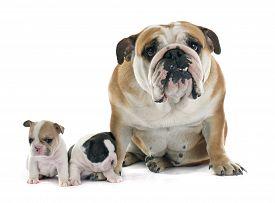 stock photo of bulldog  - puppy french bulldog and english bulldog in front of white background - JPG