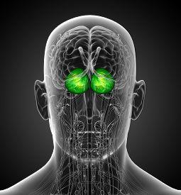 picture of cerebrum  - 3d render medical illustration of the human brain cerebrum  - JPG