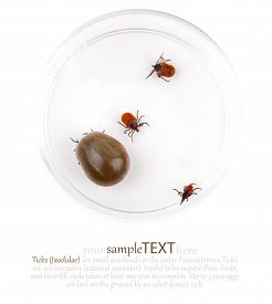 picture of ixodes  - Research of the tick Ixodes ricinus on  white - JPG