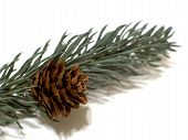 Pinecone On Spruce