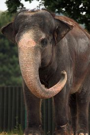 picture of indian elephant  - Indian elephant  - JPG