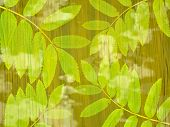 image of ash-tree  - Branches of a mountain ash on an abstract green background - JPG