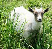 White Goat On A Background The Green Grass