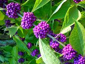 American Beautyberries