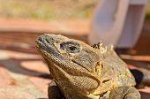 iguana on brick path