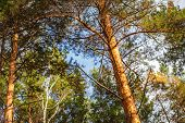 Canopy Of Tall Pine Trees Lit By The Setting Sun. Bottom Wide Angle View Of Tall Thin Evergreen Pine poster