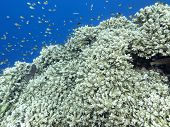 Colorful Coral Reef At The Bottom Of Tropical Sea, Great Acropora Coral, Underwater Landscape poster