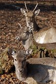Three Deers In A German Forest