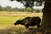 picture of carabao  - Carabao under the shade of a big mango tree - JPG