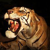 Un tigre rugiendo