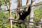 Saimang Monkey