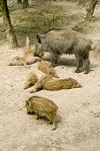 Wild Boar With The Wild Boar's Babys